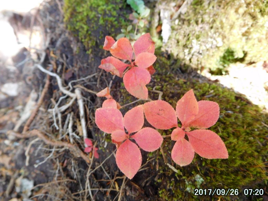 トウゴクミツバツツジの紅葉