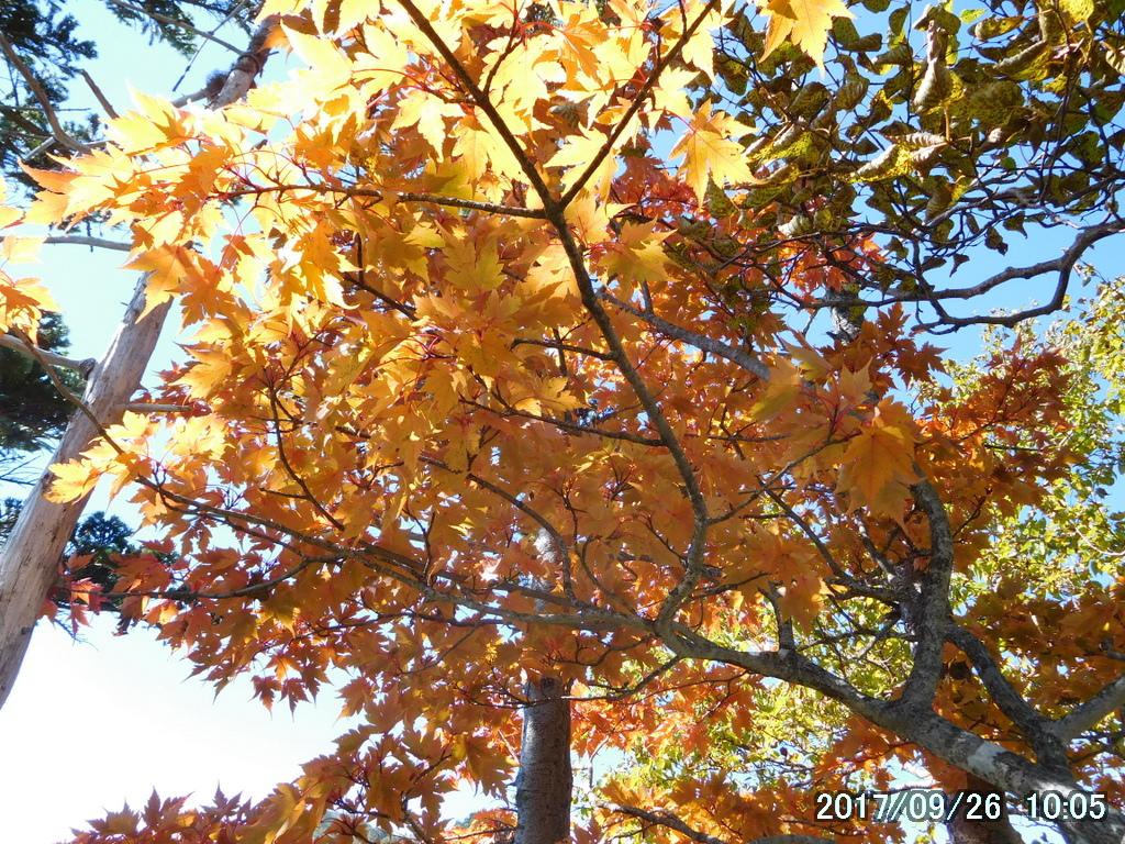 オオモミジの紅葉、黄葉