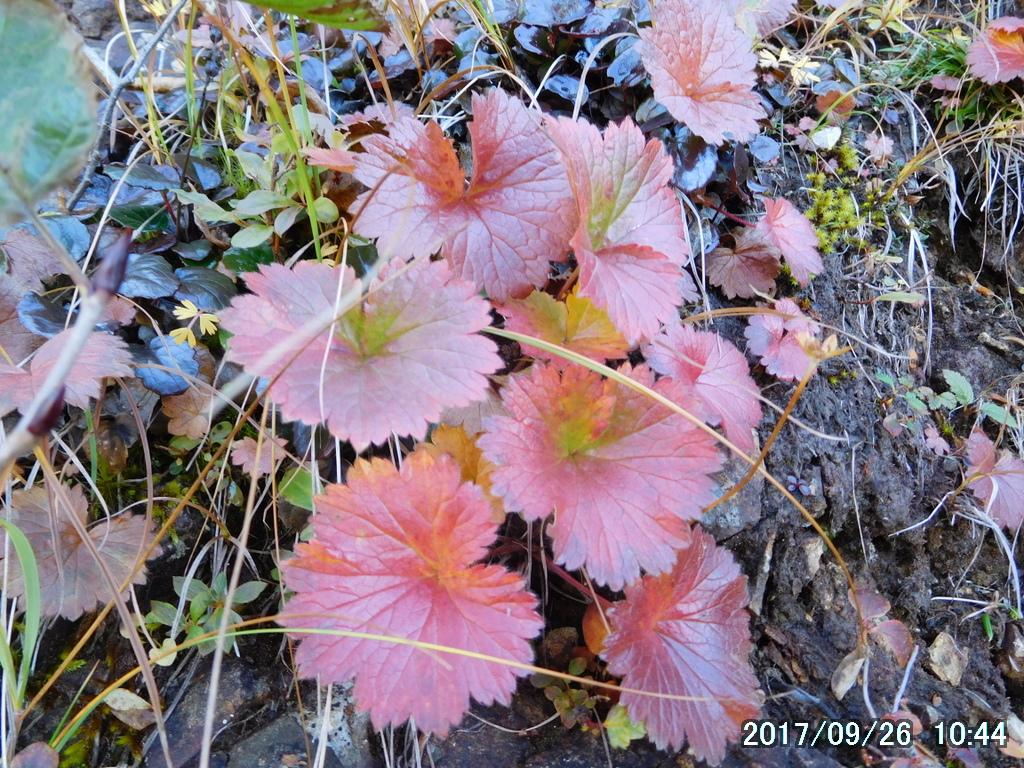 ミヤマダイコンソウの紅葉