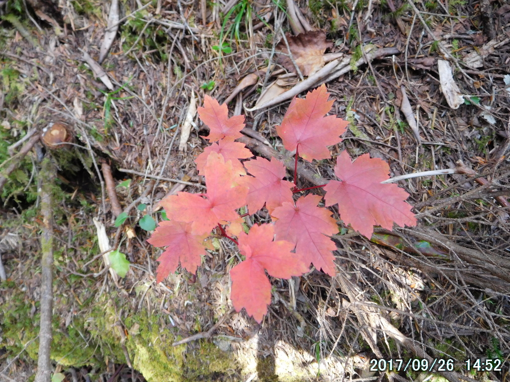 オガラバナの紅葉