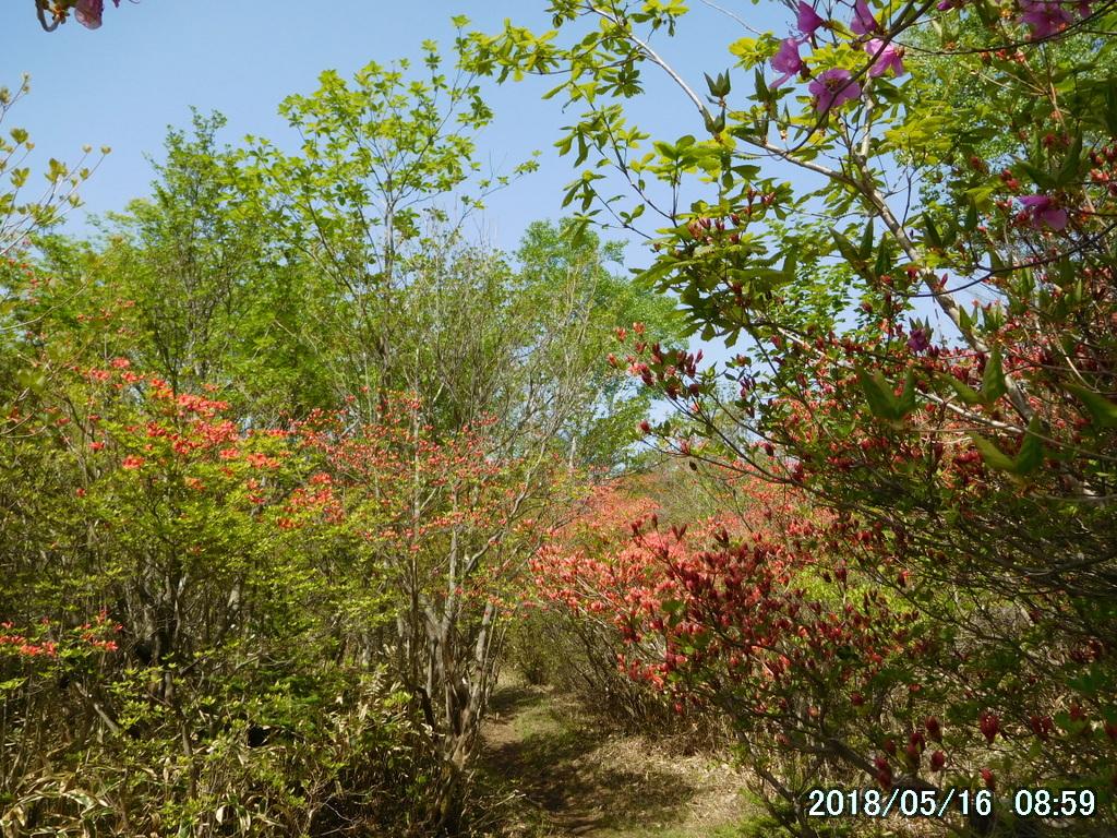 ヤマツツジの林の中を歩く