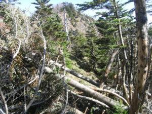 大きな倒木