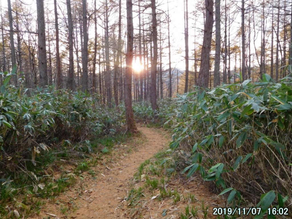 陽の傾いたカラマツ林